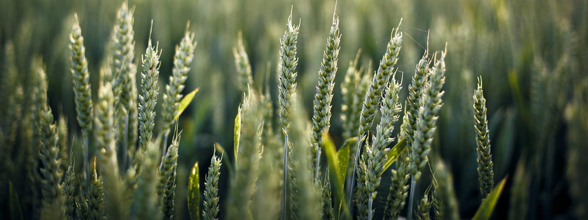 Weizen-Landwirtschaft-Niederrhein