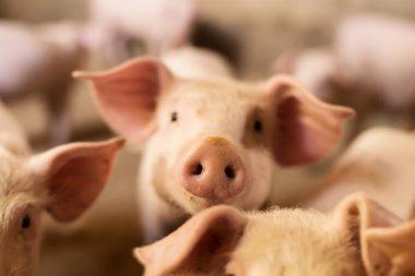 Schweine Tierhaltung