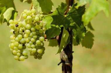 Weintrauben Winzer Steuerhinterziehung